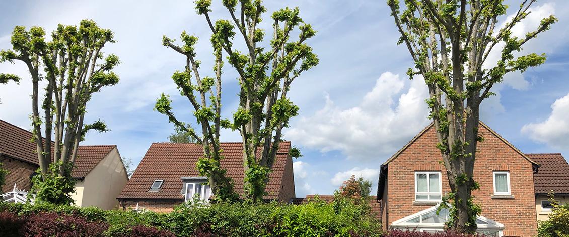 tree pollarding reading