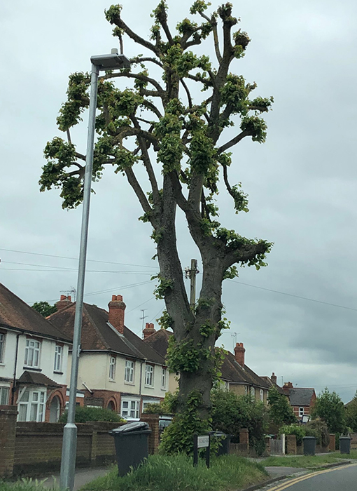 restore tree pollarding reading