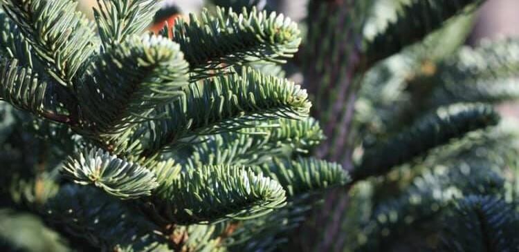 festive tree hire reading